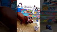Cow Unloading Video Of Dilpasand Cattle Farm