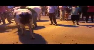 Beautiful Cows Unloading In Karachi For Sacrifice