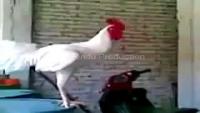 Cock On Bakra Eid Be Like