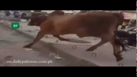 Sacrificial Bull Goes Out Of Control On Karachi Roads