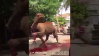 Woman Slaughter Camel
