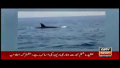 Killer Whale Sighted Off In Churna Island On 19 Nov