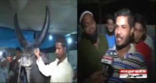 Chand Bail In Karachi Maweshi Mandi