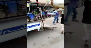 Cow Runs During Unloading