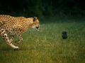 Beauty of Cheetahs Running