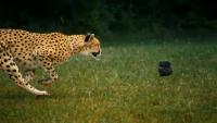 Beauty of Cheetahs Running
