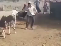 Sheep Gets Revenge