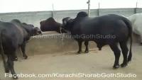 BABA ANSARI Cattle Farm Video - Cow Mandi 2013