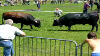 Italian Cow Fights