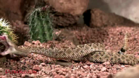 Slow motion Rattle Snake strikes