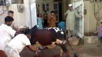 Dangerous Cow Qurbani in Lahore