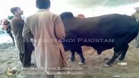 Black Bull Shahpur Mandi.