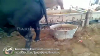 Black Beautiful Bull in Cow Mandi 2013