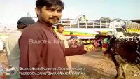 Bakra Mandi 2013 Lahore Price 82600.