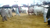 Al Quraish Cattle Farm 2013