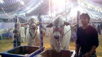Metro Cattle Farm 2013 in Mandi