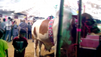 Jinnah Cattle Farm 2013 At Mandi