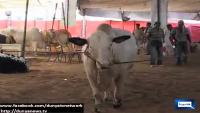 Shahid Afridi Named Bull in Maweshi Mandi