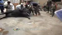Cow Qurbani Failure