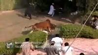Dangerous Cow Ka Tamasha