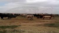 Cow Mandi Visit
