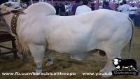 Beautiful White Cow
