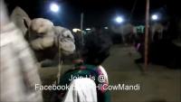 Camel Mandi 2013