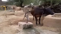 Cow using Hand Pump itself