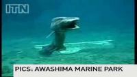 Rare Prehistoric Shark Found in Japan