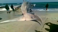 Heavy Whale Found Dead on the corner of Beach - Amazing Video