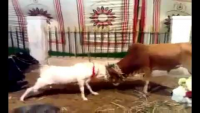 Goat vs Cow