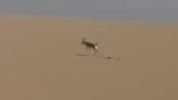Deer Hunting with The Help of Cheeta