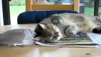 World's Most Lazy Cat!