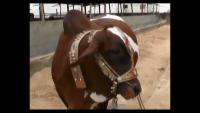 Surmawala Cattle Farm 2014 - Huge Bulls & Cows at Cattle Farm