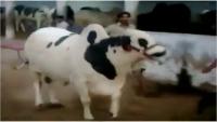 Jamal Cattle Farm 2016 Sohrab Goth Mandi