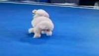 Amazing BackFliping dog