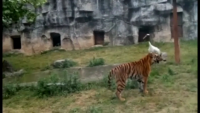 Crane Fight Off Attacks By Tigers