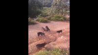 King Cobra vs 5 Dogs