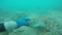 A Friendship Between Man And Sea Turtle