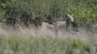 Zebra Injured Lion By Powerful Kick