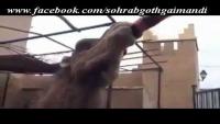 Camel Coca Cola Lover