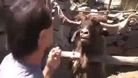 An Angry Goat Does Not Wanna Listen To Him