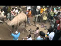 Angry Camel Attacks Public Before Qurbani