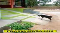 A Goat Enjoying Slide