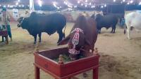Booji Cattle Farm 2015 Cow Mandi
