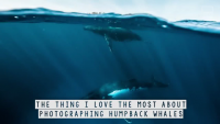 Amazing Underwater Humpback Whale Fighting Photography