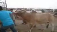 Sohrab Goth Cow Mandi