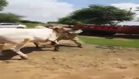 Dangerous Bail In Cow Mandi Rawalpindi 2015
