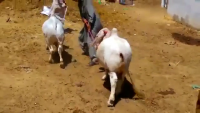 Qodu Bachre Sukra Cattle Farm 2015 Cow Mandi Karachi