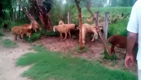 Dumbay Bakray Chatray Cow Mandi Karachi 2015 Ravi Goat Farm